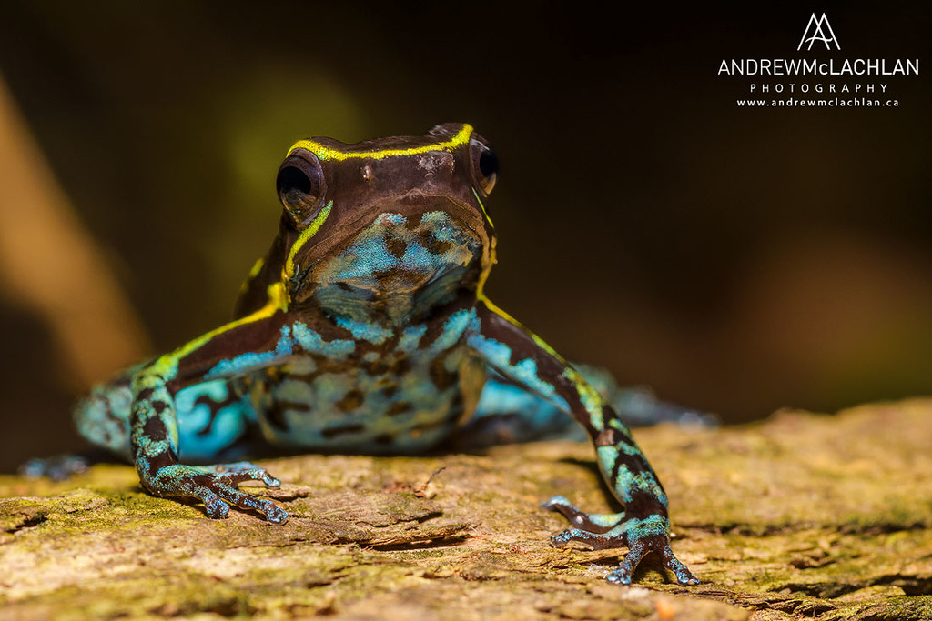 Cryptophyllobates azuriventris in the Cordillera Escalera, Peru