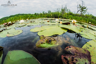 Bullfrog (Lithobates catesbeiana), Horseshoe Lake, Parry Sound, Ontario, Canada