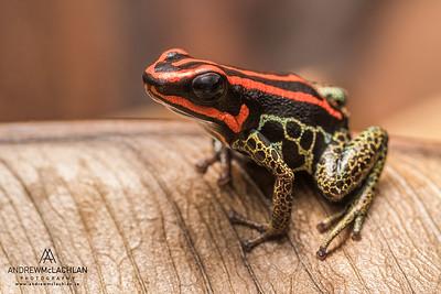 Ranitomeya ventrimaculata - captive