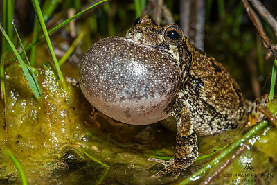 Gray Treefrog (Dryophytes versicolor) male with vocal sac inflated while chorusing in wetland at night during spring breeding season.