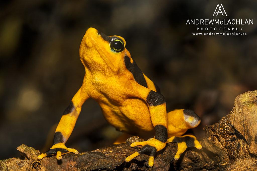 Panamanian Golden Frog (Atelopus zeteki) - captive bred