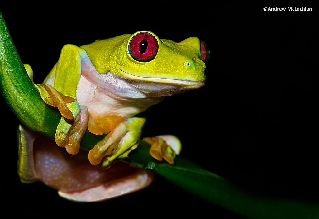 Gliding Leaf Frog (Agalychnis spurrelli) - captive
