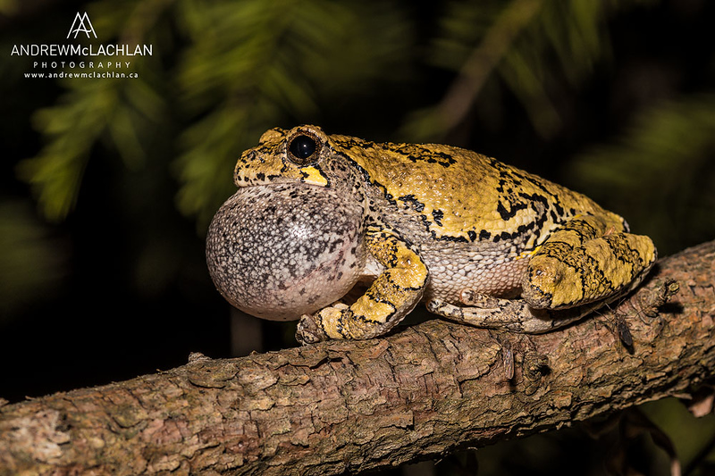 Gray Tree Frog at night near Barrie, Ontario, Canada