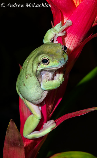 White's Tree Frog (Liotria caerulea) - captive