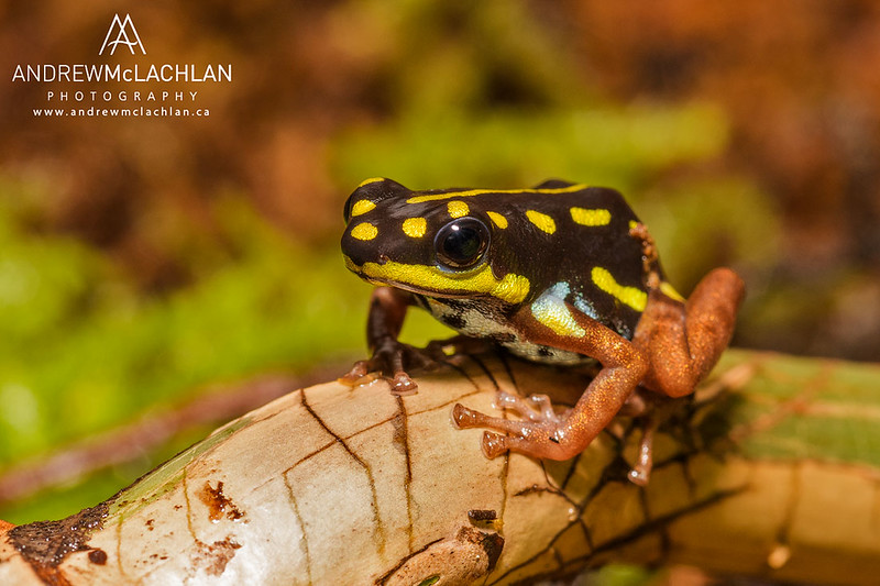 Ranitomeya flavovittata - captive bred