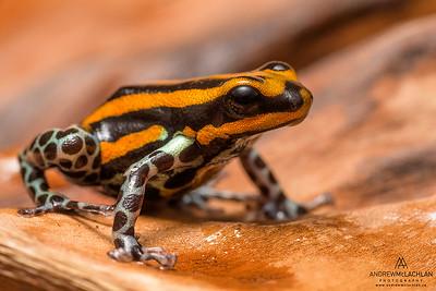 Ranitomeya sirensis - captive