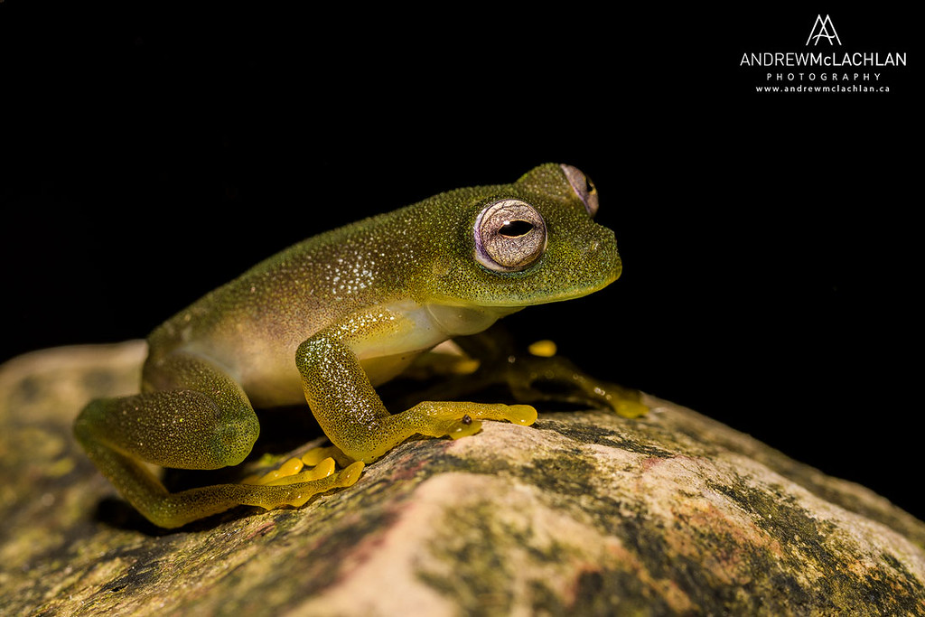 Cochran Frog (Rulyrana saxiscandens) an endangered species from the Cordillera Escalera, Peru