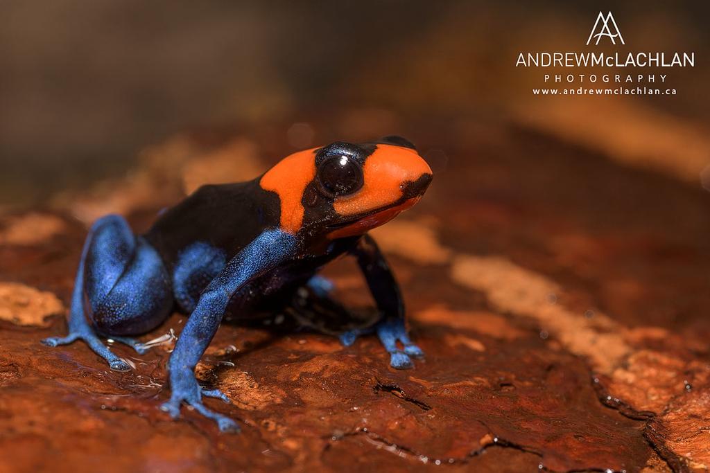 Ranitomeya bendicta - captive bred