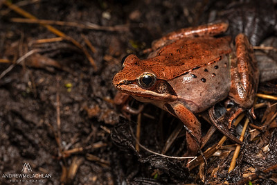 Wood Frog (Lithobates sylvatica)