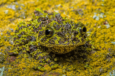 Vietnamese Moss Frog (Theloderma corticale) - captive