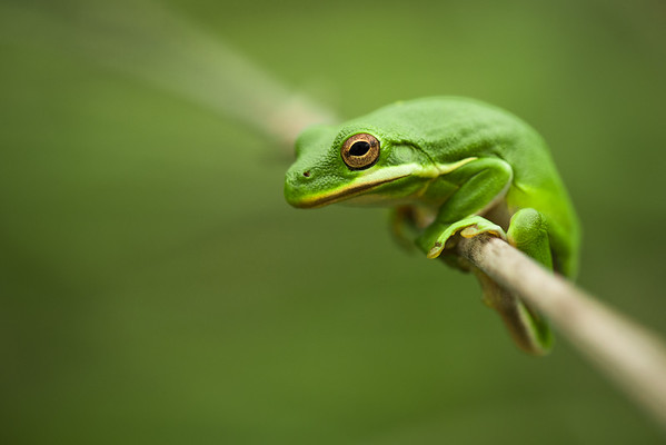 Frog on a HIgh Wire