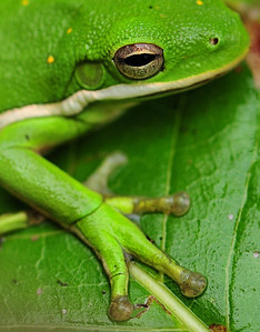 American Green Tree Frog Closeup