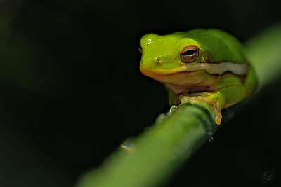 Resting Tree Frog