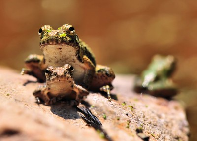 Three Frogs on a Rock