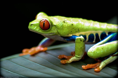 Red Eyed Tree Frog 2007