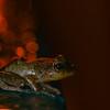 Couqui Frog in PR