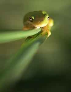 Dennis Stewart - American Green Tree Frog 2