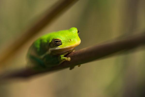 Seeking the Sun - American Green Tree Frog 2018