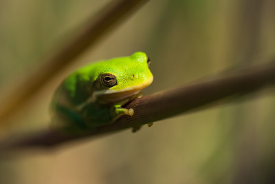 Seeking the Sun - American Green Tree Frog 2018