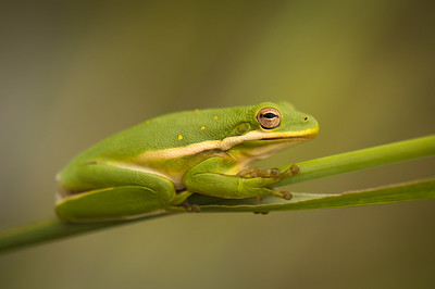Dennis Stewart - American Green Tree Frog