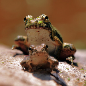 Two Frogs On a Rock