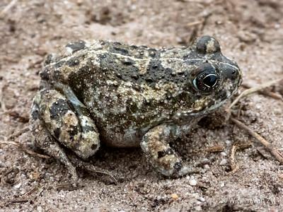 20190825 Delalande's Sand Frog (Tomopterna delalandii) from Melkbosstrand, Western Cape