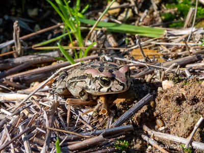 20190727 Raucous Toad (Sclerophrys capensis) from Tulbagh, Western Cape