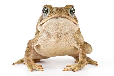 Cane toad (Rhinella marina) from Costa Rica