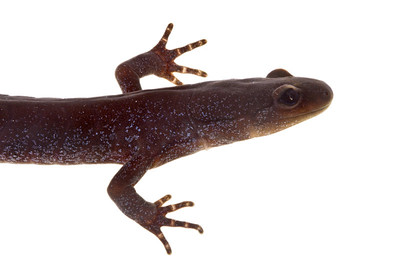 Jefferson's salamander (Ambystoma jeffersonianum) from the eastern US