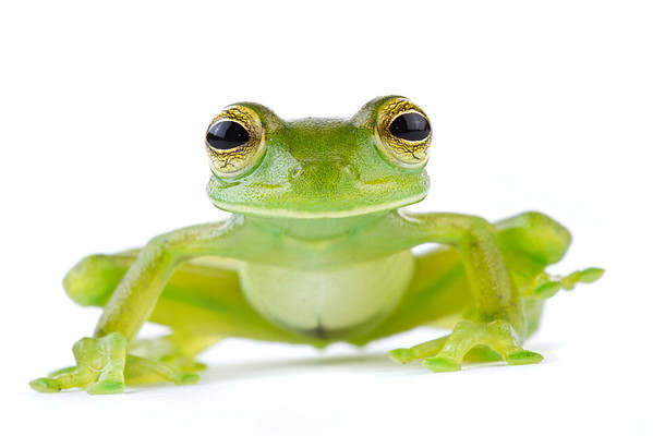 Glass frog (Centrolenella spinosa) from Costa Rica