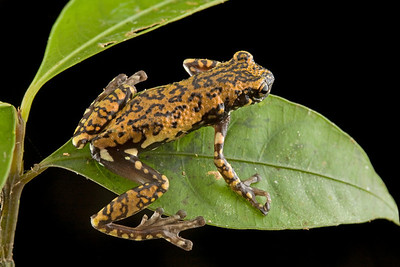 Tukeit Hill Frog (Allophryne ruthveni) is a mysterious frog of unknown relationships to other frogs. It is the sole member of the family Allophrynidae, restricted in its distribution to the Guiana Shield. It is considered a relict taxon althought there are no known fossils of its relatives.