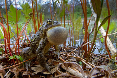 Male American toad (Anaxyrus americanus) calling during the mating season in early spring in Massachusetts