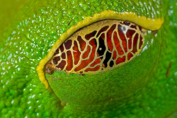 The eye of the Red-eyed treefrog (Agalychnis callidryas) from Costa Rica