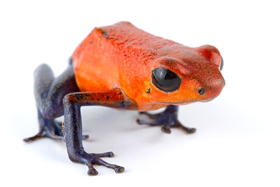 Strawberry Poison-dart Frog (Oophaga pumilio) from Costa Rica
