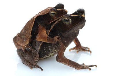 Leaf toads (Rhinella lescueri) from Suriname in amplexus