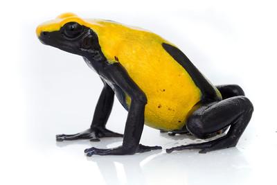 Dyeing dart frog (Dendrobates tinctorius) from Suriname