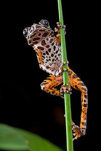 Leopard running frog (Kassina arboricola) from Ghana
