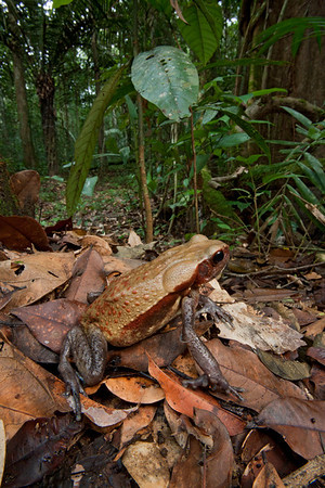 Rainforest toad or Sapo dorado (Bufo guttatus) from Suriname