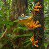 Barred leaf frog (Cruziohyla calcarifer) from Costa Rica