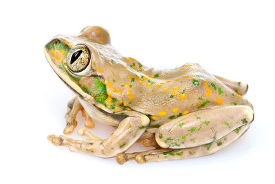 Yellow-spotted tree frog (Leptopelis flavomaculatus) from Mozambique