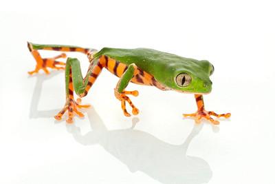 Tiger Leg treefrog (Phyllomedusa tomopterna) from Suriname