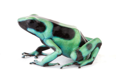 Green and Black Poison Dart Frog (Dendrobates azureus) from Costa Rica