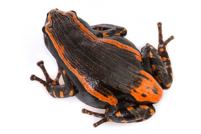 Red-banded rubber frog (Phrynomantis bifasciatus) from Mozambique