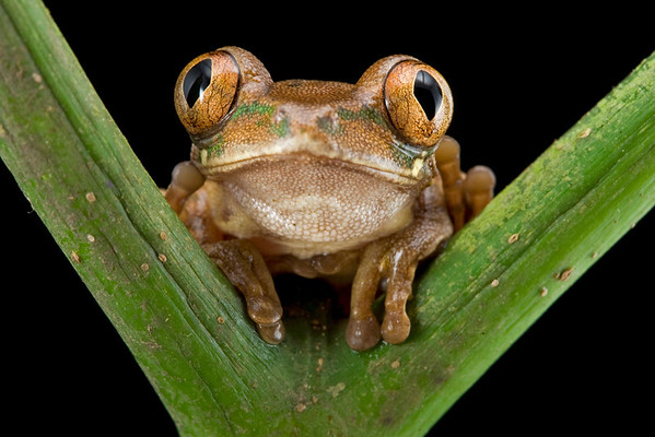 West African Tree Frog (Leptopelis occidentalis)