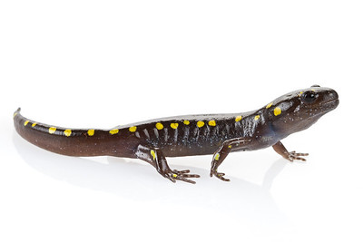 Spotted salamander (Ambystoma maculatum), from the eastern US