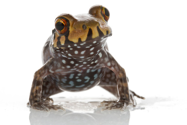 An unidentified, possibly new to science frog (Leptodactylidae) from Suriname