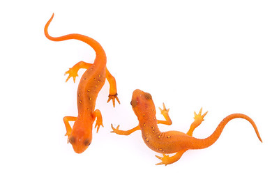 Efts (immature stages) of Eastern newt (Notophthalmus viridescens) from eastern US