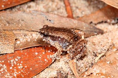 Austrochaperina adelphe (Northern Territory Frog)