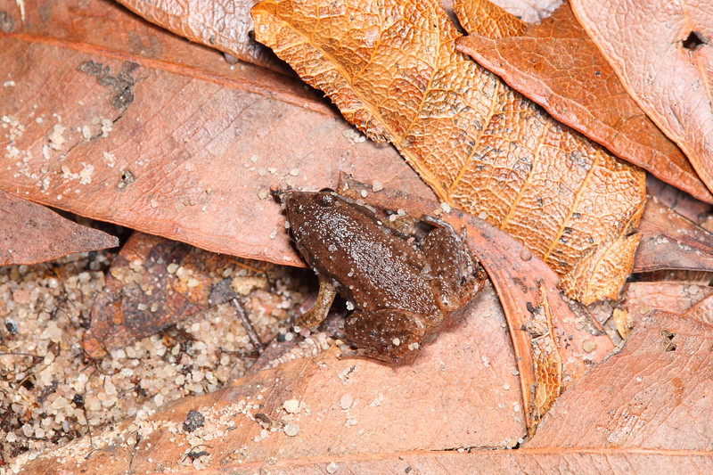 Austrochaperina adelphe (Northern Territory Frog) found at Litchfield NP, NT under leaves of a sandy creek bank