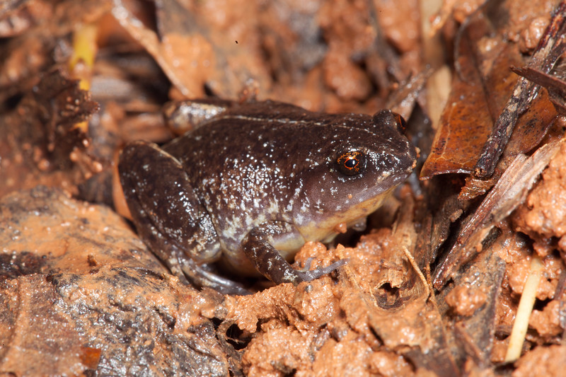 This little frog was just a bit over 1cm, located in the rain as he called from the leaf litter. Cedar Bay NP, Cape York.